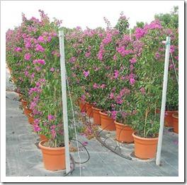 زراعة نبات الجهنمية(المجنونة Bougainvillea bougainvillea_15L_02_thumb[3].jpg?imgmax=800